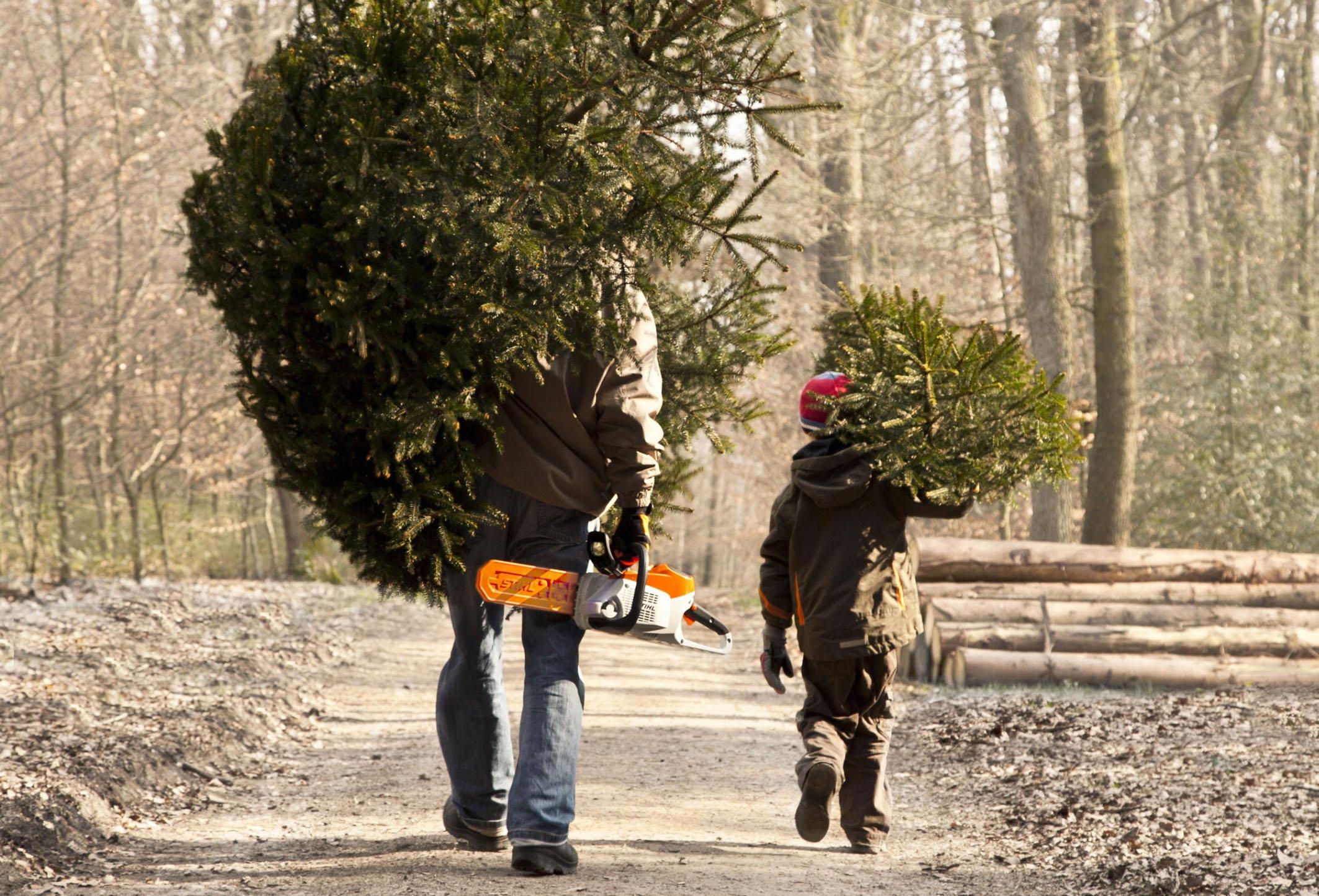 Weihnachtsbaum selbst schlagen mit dem Sohn